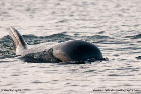 The long finned long-finned pilot whale had spent three days swimming around the busy oil port - Photo: Austin Taylor