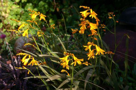 Late flowering crocosmia cultivar.