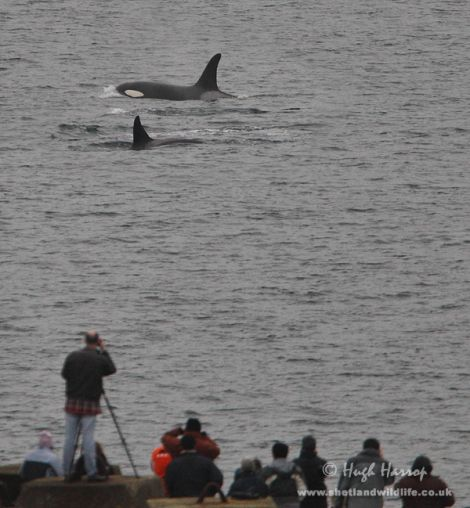 The crowds gather to watch the pod of four killer whales at Mousa Sound. Pic. Hugh Harrop
