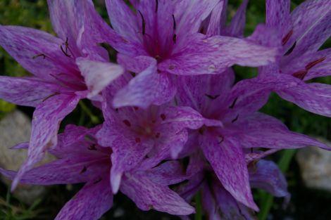 Colchicum aggripinum.