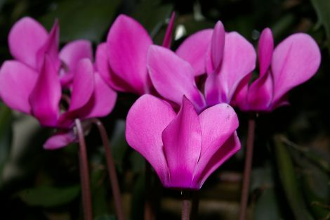 Cyclamen neapolitanum - all photos: Rosa Steppanova, Lea Gardens