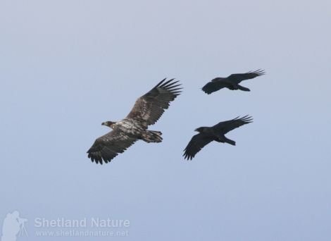 The sea eagle being mobbed. Pic. Rob Brookes/Shetland Nature