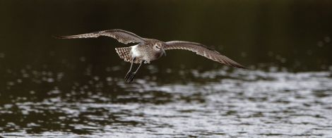 The whimbrel has become the focus of the legal argument over the Viking Energy wind farm. Pic. RSPB