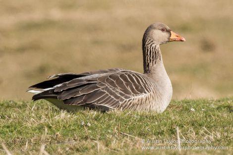 Greylag goose - Photo: AustinTaylor