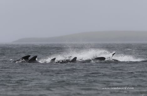A commotion as the pod of pilot whales start to head back out to sea. Photo Ivan Hawick