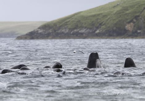 The whales before the rescue craft arrived. Photo Ivan Hawick