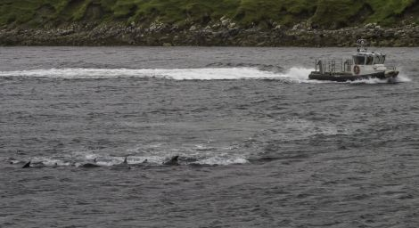 BP's fast rescue boat circles the whales before driving them out of Firths Voe. Poto Brian Gray