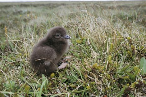 An Arctic skua chick, a sight which could disappear from Scotland within a decade. Photo Andy Hay/RSPB