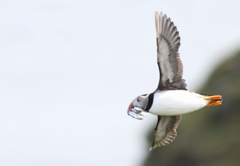 A puffin with a beakful of good-sized fish flies in to Fair Isle to feed its chicks. Photo David Parnaby
