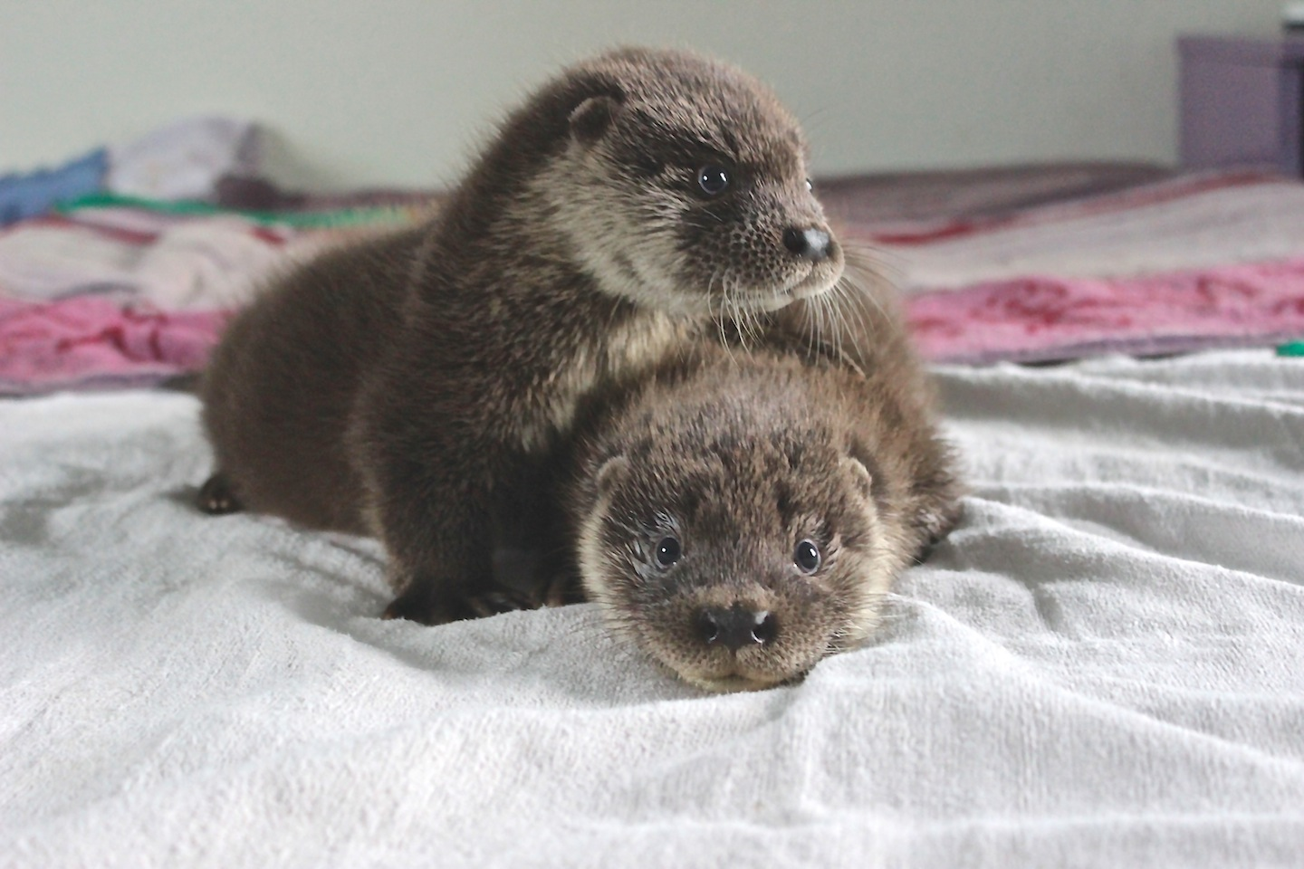 Hillswick Wildlife Sanctuary will put the money raised towards a new outdoor otter pen for Joey and Thea, their current residents.