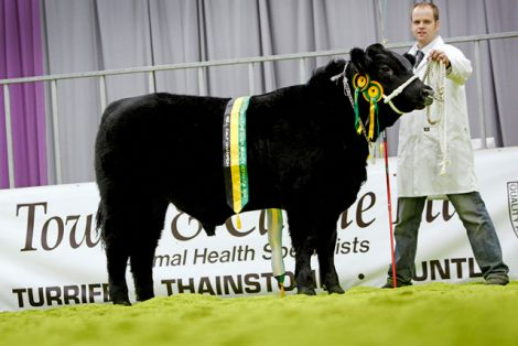 Jamie Leslie with his 10 month old champion bull calf Scholland Dagger P637 at the Black Beauty Bonanza in Thainstone.