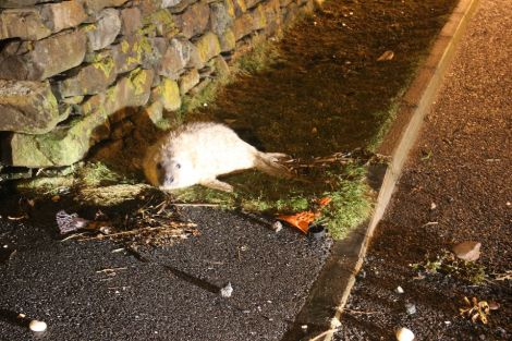 This great seal pup washed up in Lerwick last year. Photo Shetnews