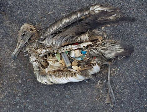 A dead seabird whose stomach was filled with plastic. Photo Chris Jordan