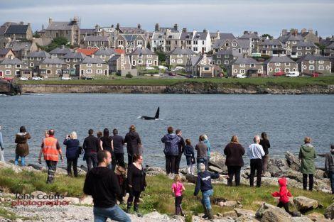 A pod of killer whales kept the crowds entertained as they came close in at Breiwick on Thursday - Photo: John Coutts