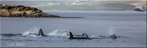 Whalsay-based photographer Ivan Reid captured a great series of photos of the orcas on Wednesday morning.