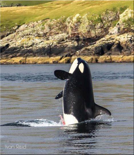 While he had seen killer whales many times before, Ivan said it was a great experience to observe them up close and personal. Photo: Ivan Reid