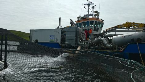 Salmon being released back into a pen after thermolicer treatment - Photo: Scottish Sea Farms