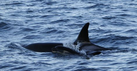 Orca female SN200 with young calf - Photo: Orca Guardians Iceland