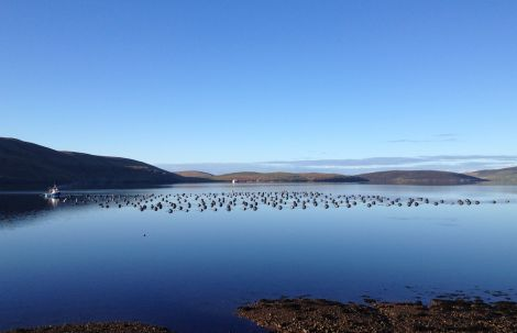 A mussel farm in Shetland's north mainland. Photo: Seafood Shetland