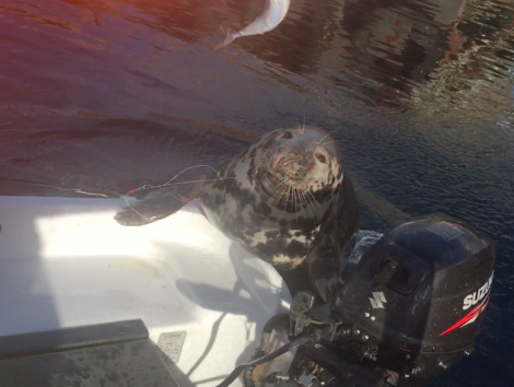 The seal caught up in fishing line at Toft Pier.