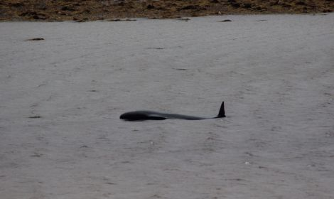 The pilot whale didn't show any signs of wanting to leave the voe after being reflected on Thursday afternoon. Photo: Hillswick Wildlife Sanctuary