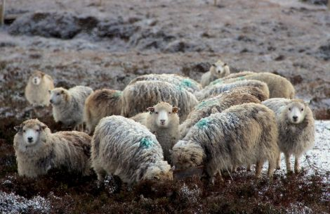 Sheep numbers across Scotland could halve according to Scotland's Rural College. Photo: Shetland News