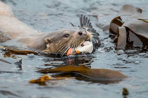 An award winning photo of an otter with a puffin in its mouth by Richard Shucksmith.