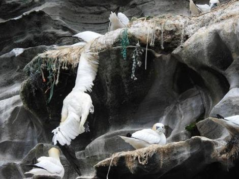 Sean Whyte said he photographed a deceased gannet having become entwined in fishing nets used for nesting material.